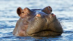 Un hipopótamo se lo pasa en grande con un compañero de juego nada