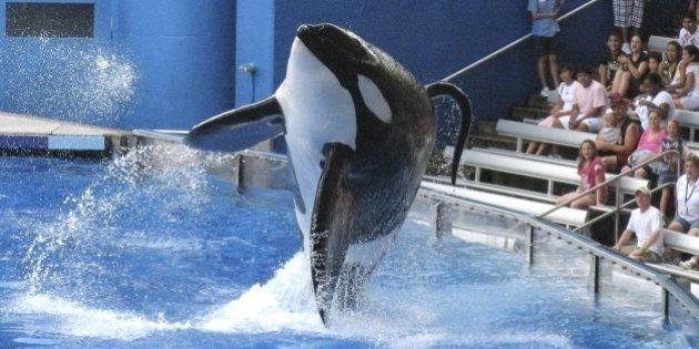 SeaWorld anuncia el fin de su programa de espectáculos con orcas y de la cría en