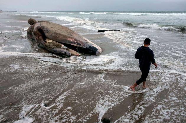 Encuentran 40 kilos de plástico dentro de una ballena muerta en