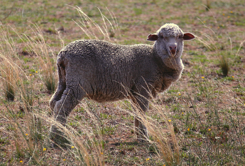 Επιστημονική επανάσταση: Πρόβατα γονιμοποιήθηκαν με σπέρμα 50