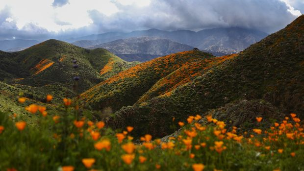 LAKE ELSINORE, CALIFORNIA - MARCH 12: A 'super bloom' of wild poppies blankets the hills of Walker Canyon as still charred hills from the Holy Fire stand in the background on March 12, 2019 near Lake Elsinore, California. Heavier than normal winter rains in California have caused a 'super bloom' of wildflowers in various locales of the state.  (Photo by Mario Tama/Getty Images)