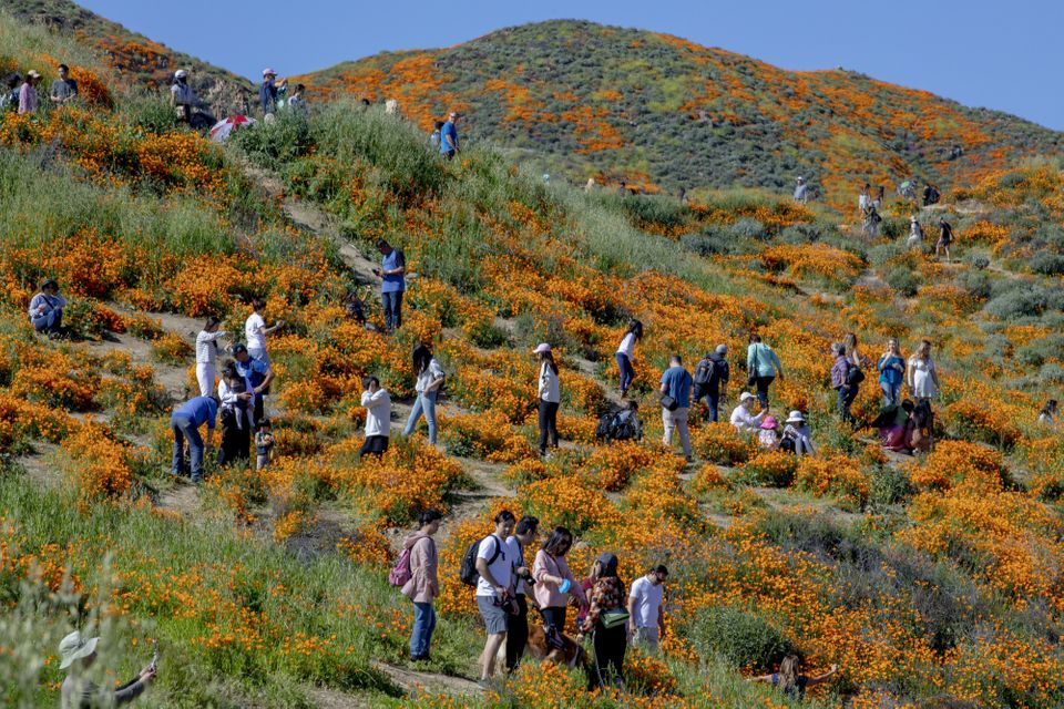 California 'Super Bloom' Wildflower Fields Close After Visitors Trample