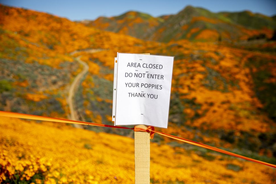 A sign protecting poppy flowers stands at a field during a wildflower super bloom in Lake Elsinore, California, on Saturday,