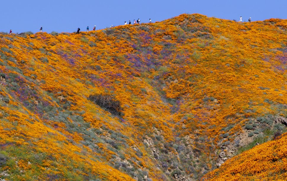 Visitors walk through poppy fields during a super bloom in Lake Elsinore, California.