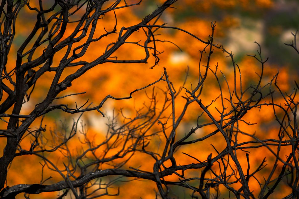 California poppies bloom among the charred remains of chaparral brush that was burned away by the Holy Fire, as the so-called