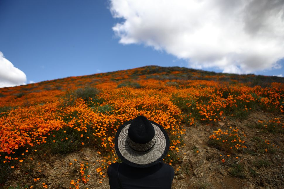 A woman views a super bloom of wild poppies blanketing the hills of Walker Canyon near Lake Elsinore, California.