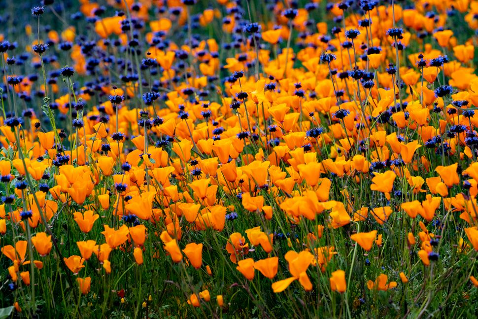 The super bloom fills the hillsides with orange and purple color along Walker Canyon Road in Lake Elsinore, California.