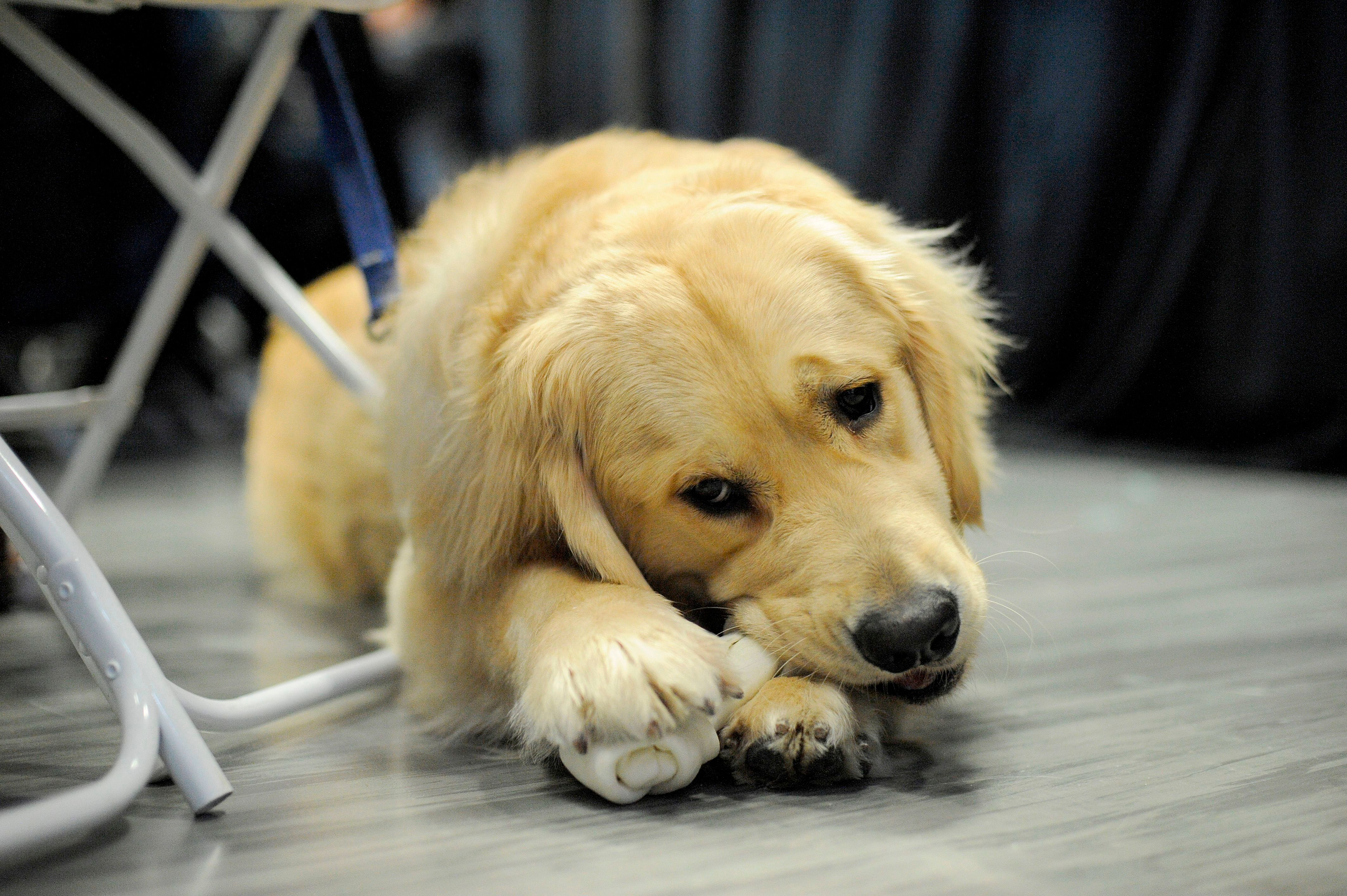 Senator Elizabeth Warren's pet dog Bailey sits and enjoys a treat as Warren addresses an Organizing Event as part of her exploratory presidential Committee at Manchester Community College in Manchester, NH on Saturday January 12, 2019. - The 69-year-old progressive announced last month she was launching an exploratory committee for president, becoming the first major candidate in what is set to be an extraordinarily crowded Democratic primary, united by a singular focus on unseating the Republican Trump. (Photo by JOSEPH PREZIOSO / AFP)        (Photo credit should read JOSEPH PREZIOSO/AFP/Getty Images)