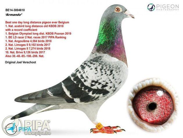 세상에는 한 마리에 16억원이나 하는 비둘기도