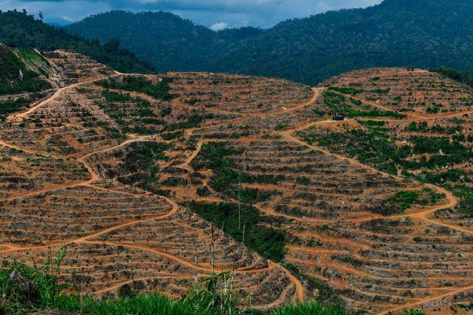 말레이시아 두리안 농장. 중국에서 두리안 수요가 급증해 말레이시아 삼림 벌채가 늘고