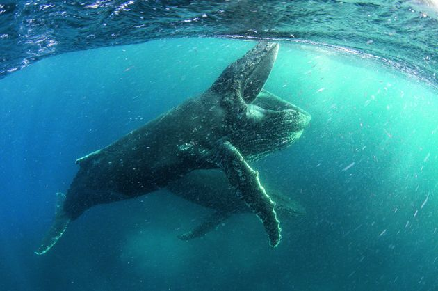 A Humpback whale is feeding near Cape Town in