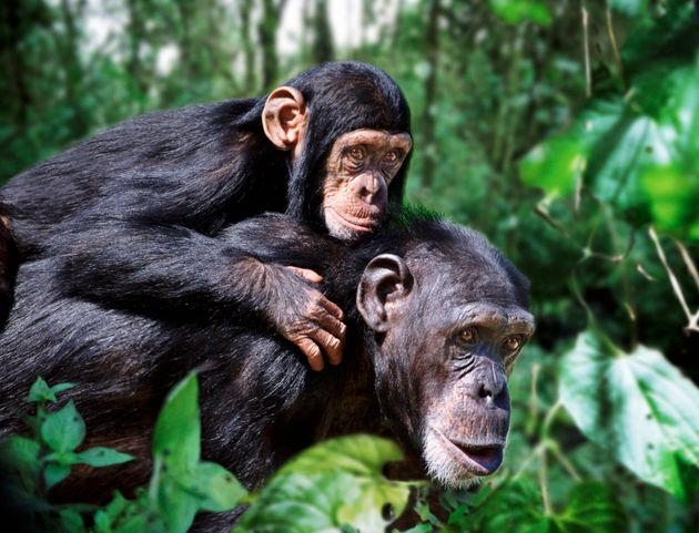 Πώς η «κουλτούρα» των χιμπατζήδων απειλείται από τον