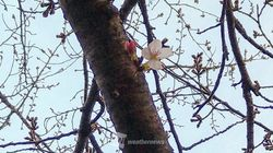 ソメイヨシノ、開花一番乗りは長崎だった。全国の桜の見頃はいつ?