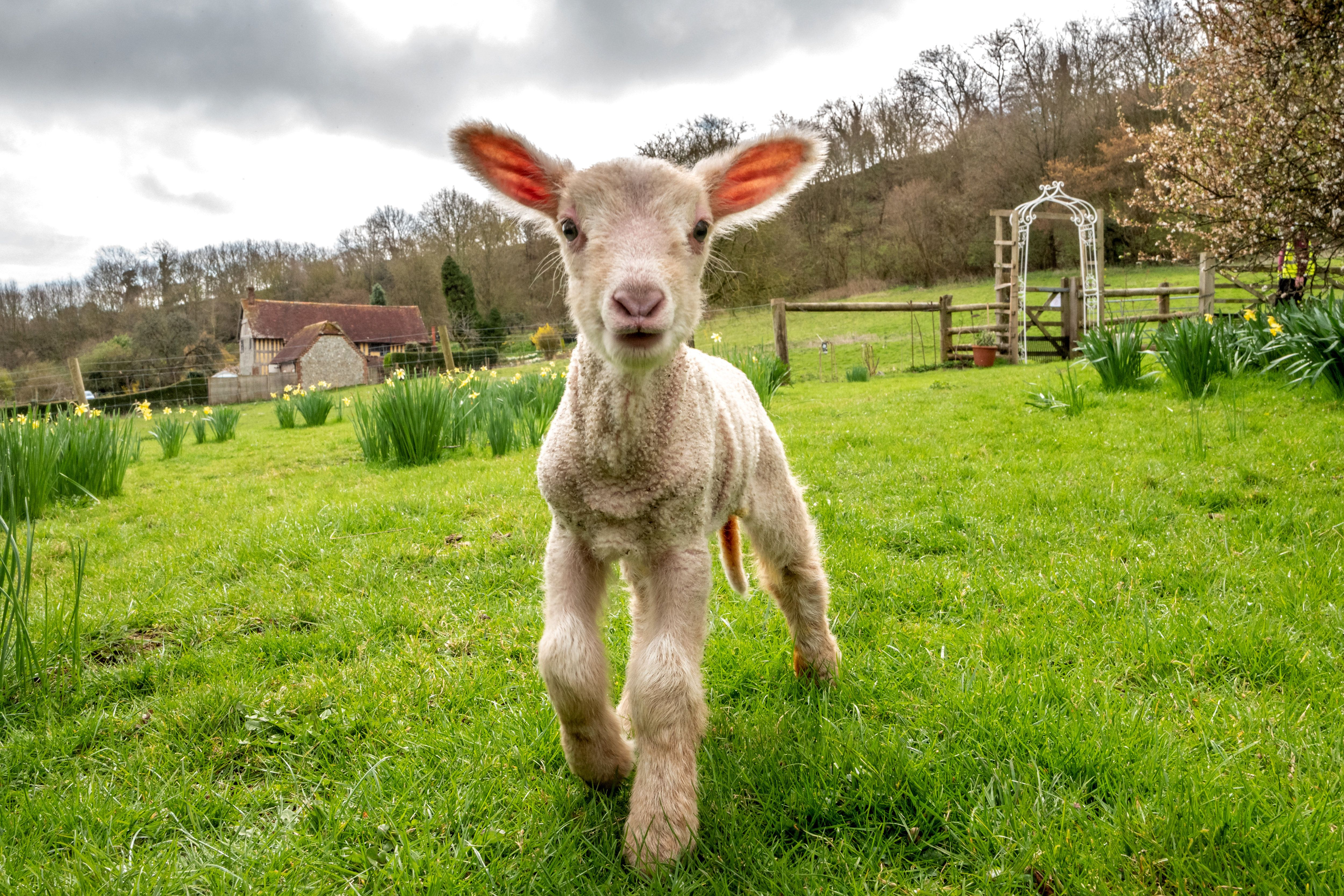 LANCING, ENGLAND - MARCH 20: A day-old lamb exploring new surroundings on the vernal equinox, considered the first day of spring, on March 20, 2019 at Coombes Farm in Lancing, England. (Photo by Andrew Hasson/Getty Images)