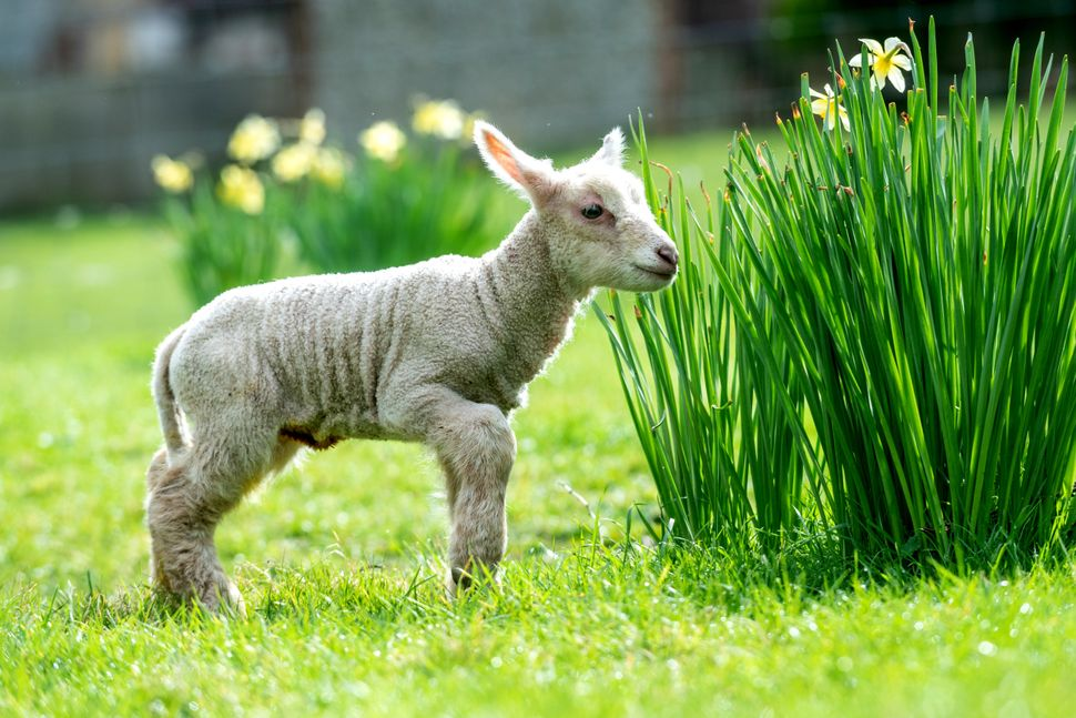 The little lamb checks out the grounds.