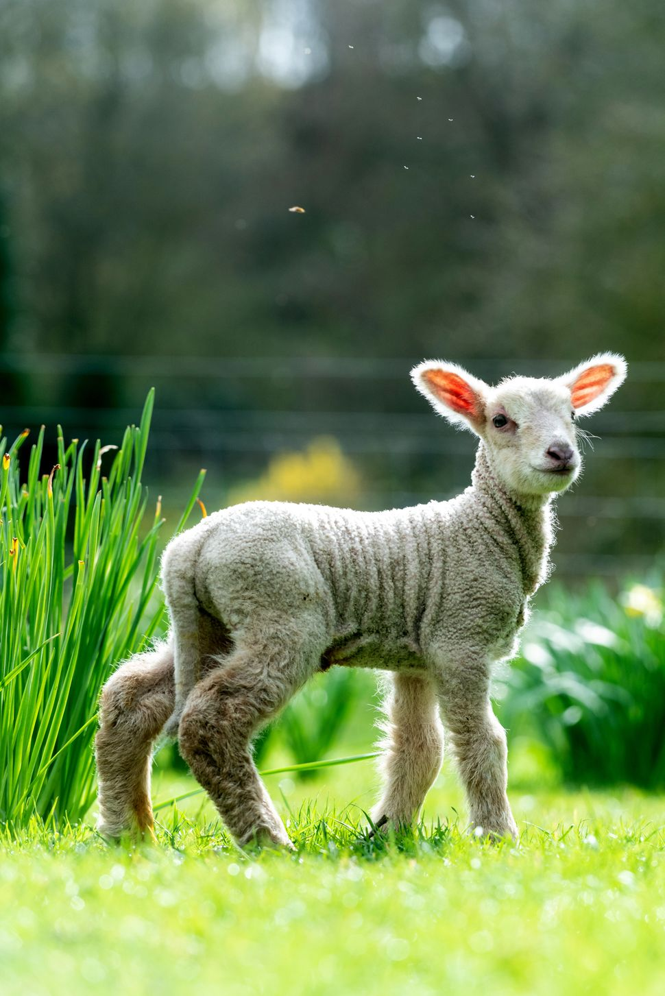 A day-old lamb explores new surroundings on the vernal equinox, which this year falls on March 20, at Coombes Farm in Lancing