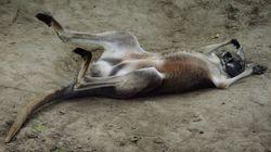 Un kangourou succombe à des jets de pierres de visiteurs dans un zoo