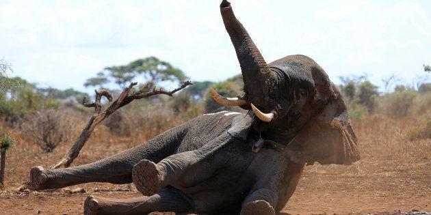 Les chasseurs d'éléphants américains pourront ramener leur trophées aux