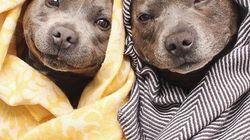 Ces deux petits chiens emmitouflés valent le