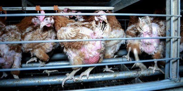 130 ONG lancent une gigantesque pétition pour contraindre l'UE à interdire les élevages en cage