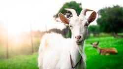 Gap, Zara, H&M ou Topshop n'utiliseront plus de laine mohair après des révélations de maltraitance