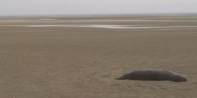 Un phoque battu puis tué au fusil de chasse au Touquet, une association porte