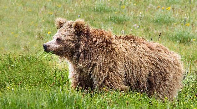 Un ours brun de