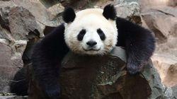 Des pandas perdent leurs taches noires et personne ne sait