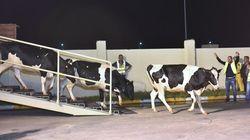Le Qatar continue d'importer des vaches laitières par milliers et par