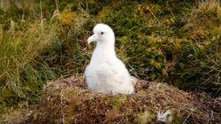 Une espèce rare d'albatros menacée par des souris