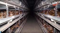Une nouvelle vidéo choc de L214 pour dénoncer l'élevage des poules en cage dans la