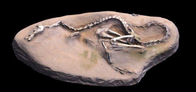Halszka, le dinosaure au cou de cygne, aux dents de croco et aux ailes de