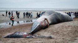 Une baleine de 18 mètres s'échoue sur une plage en