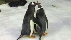 Ce couple de pingouins mâles élève un bébé