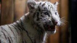 La Chine rouvre le commerce de produits à base de tigre et de