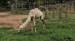 Un zoo africain accusé de maltraitance animale face à ce chameau