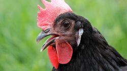 Si les oiseaux n'ont plus de dents, ce serait lié à leurs oeufs, selon des