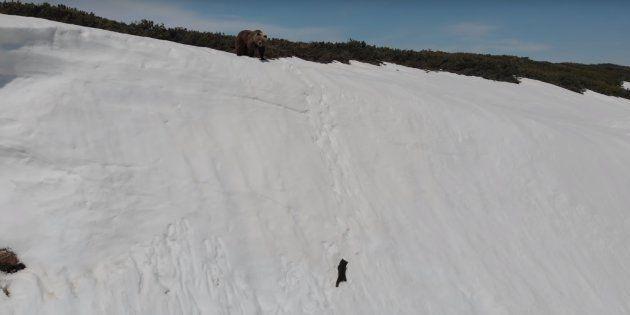 La vidéo de l'ourson a été capturée par drone en