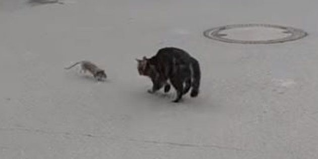 Cette poursuite entre un chat et un rat n'est pas sans rappeler le dessin-animé Tom et