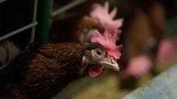 La Californie a voté l'interdiction de l'élevage des poules pondeuses en
