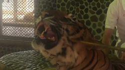 Cette vidéo d'un tigre, frappé pour rugir pour les touristes, provoque un