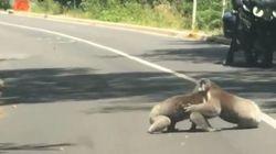 Vous ne trouverez pas meilleure excuse que ces koalas pour expliquer votre retard au