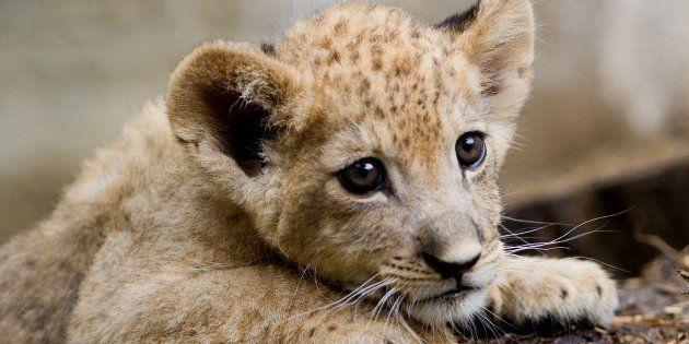 Un lionceau a été retrouvé lors d'un contrôle de police sur l'avenue des
