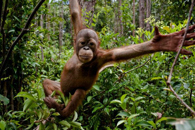 Les orangs-outans sont les premières victimes de la