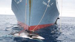 Des pêcheurs japonais ont tué 122 baleines enceintes au nom d'une prétendue étude