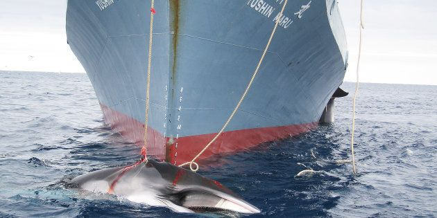 Japon: 122 baleines enceintes tuées au cours de l'expédition dans