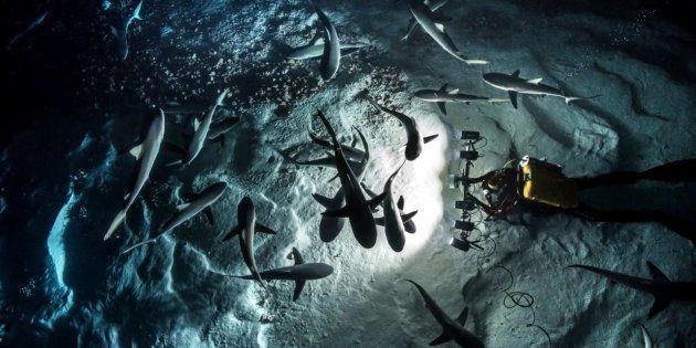 Laurent Ballesta filme les requins gris pendant la grande chasse annuelle en Polynésie