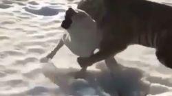 Ce face à face entre chien et tigre ne se termine pas comme vous