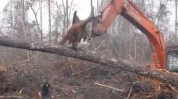 Cet orang-outan face à un bulldozer qui détruit sa