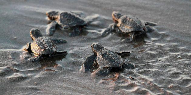 A cause du réchauffement climatique, ces bébés tortues sont à 99% des